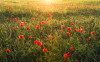 Poppy World I