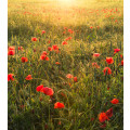 Poppy World I