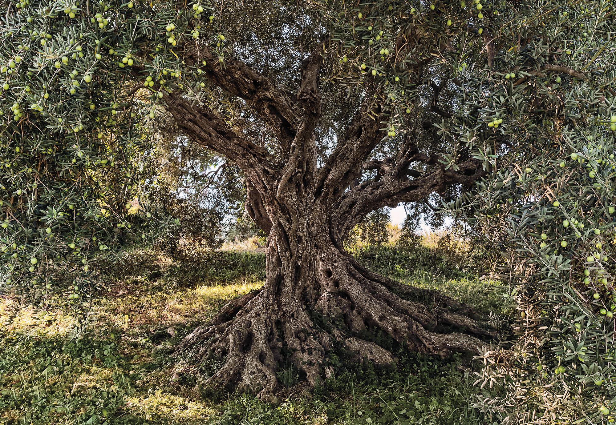 fototapete olive tree von komar national geographic. Black Bedroom Furniture Sets. Home Design Ideas