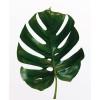 Elastica Leaf